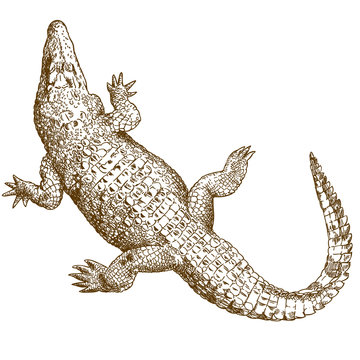 engraving drawing illustration of big crocodile