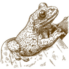 engraving  illustration of black-spotted casque-headed tree frog