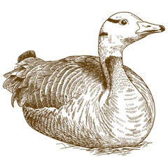 engraving illustration of goose