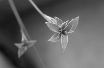 Spider Plant - Black & White Macro