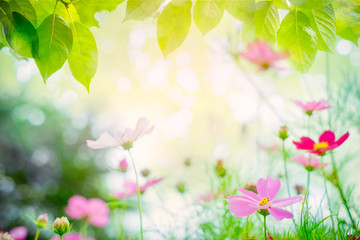 Summer noon backgrounds with beauty Sulfur Cosmos flowers