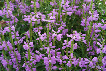 Horizontal Bed of Purple Obedience Plant