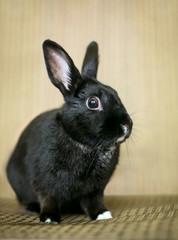 A black domesticated pet rabbit