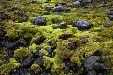 Thick moss covering rocks in a field in Iceland