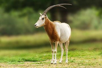 Scimitar horned oryx animal in zoo or farm.