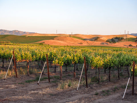 Vineyard at sunset in Livermore Wine Country, California