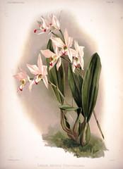 Ilustracja botaniczna