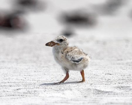 Bird chick standing
