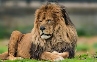 Male lion portrait.