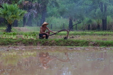 Farmers are planting rice in the rainy season.