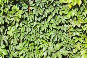Wall covered with green and yellow leaves of wild grape. Natural background