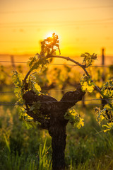 Aluminium Prints Vineyard Young branch with sunlights in Bordeaux vineyards