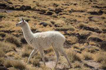 Peru Travel Single llama
