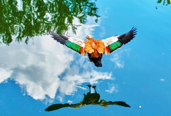 Garden Poster Eagle Vibrant color view of young city ducks floating in green summer water