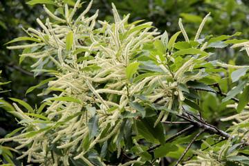 fleurs du châtaignier