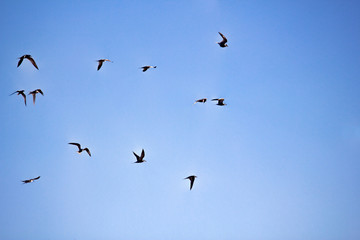 Numerous tern in the sky.