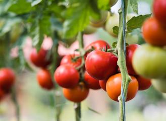 Ripe tomato plant growing