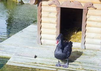 Black swan near wooden house on lake