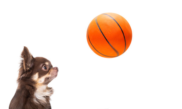 chihuahua basketball dog