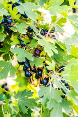 bunch of ripe black currant on a bush in the garden