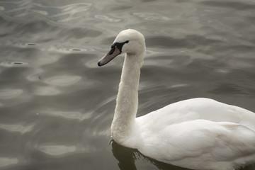 Swan on a Grey Lake