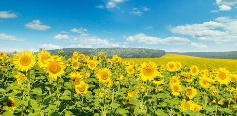 Field with blooming sunflowers and cloudy sky. Wide photo.