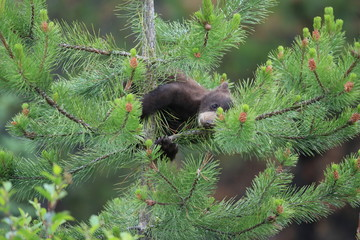 Young black bear Canada