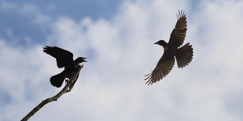 Episode from the life of crows. Sitting on a branch of a crow shows an unwillingness to share it..