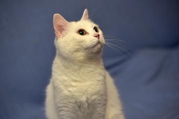 white albino cat