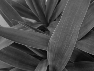 Yucca Plant Leaves - Black & White Macro