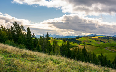 spruce forest on the grassy hillside in mountains. lovely landscape with gorgeous sky