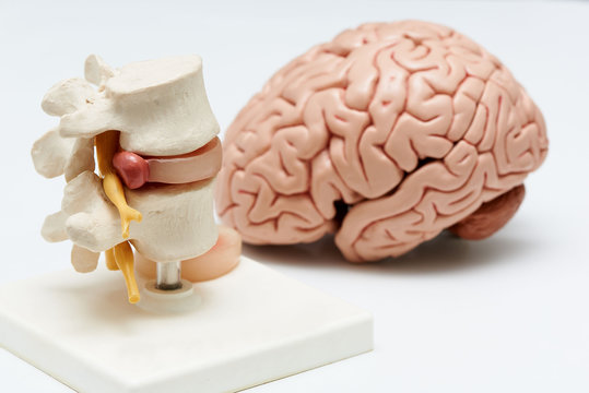 Brain model and lumbar spine model on white background