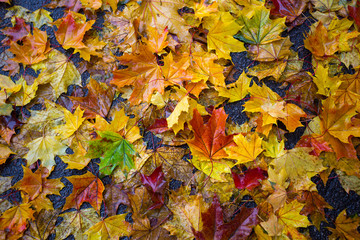 background of autumn colorful maple leaves