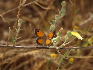 mariposa alas abiertas