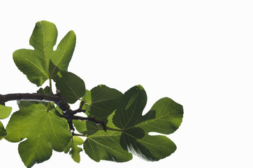 Branch of young green leaves of a fig tree isolated on the white background; leaves translucent in the sun close-up; backlit; in the corner of photo
