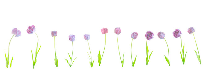 Collage of natural blue flowers tulips isolated.