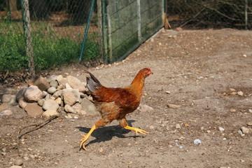 Farbenfrohe Hühner im Sommer