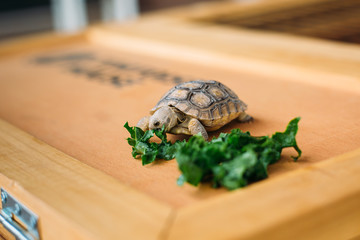 Baby Tortoise Eating Greens