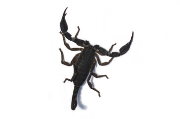Live scorpion with shadow isolated on the white background, close-up, top view; Dangerous animal