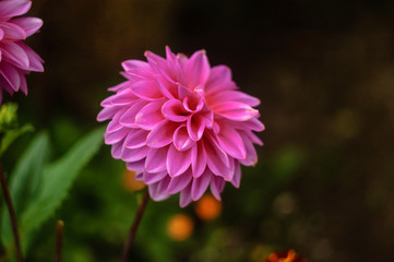 beautiful large Dahlia pink close-up on a natural background