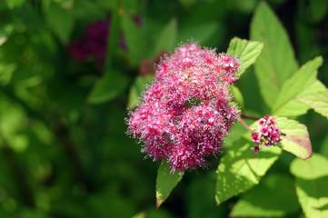 beautiful pink inflorescences