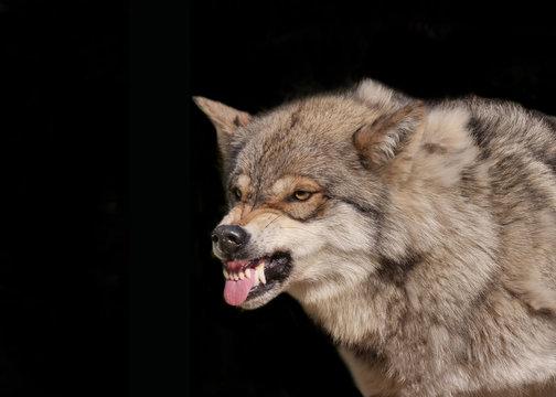 Wolf fletscht die Zähne und legt die Ohren an im Portrait vor schwarzem Hintergrund