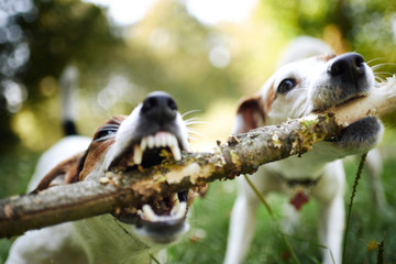 Two jack russells fight over stick on the grass in the park