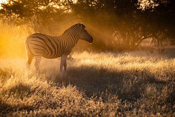 Zebra Morningsun