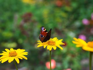 Beautiful butterfly on yellow chamomile