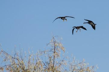 Three Canada Geese Landing in the Wetlands