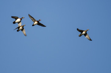 Flock of Wood Ducks Flying in a Blue Sky