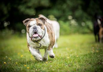 The English Bulldog