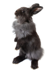Cute black bunny rabbit standing on white background