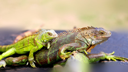 Photo of a close-up funny iguana